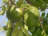 Graviola fruta