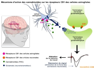 mecanisme-action-cannabinoides