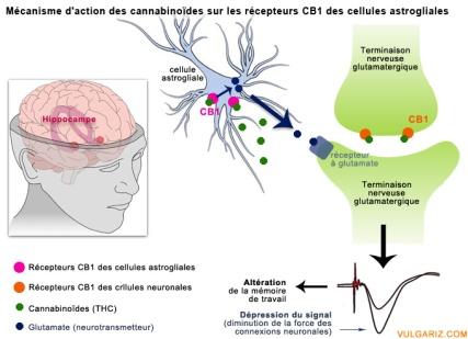 mecanisme-action-cannabinoides