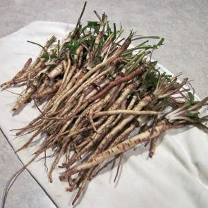 dandelion-roots-300x300