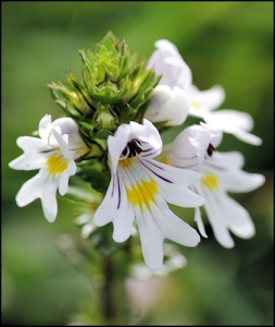 drug-eyebright