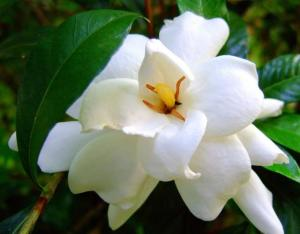 photos-of-White-Gardenia-flowers-with-yellow-center