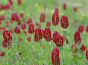 red-clover-blossom-flower-4